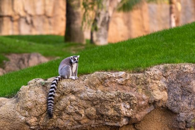Lemuridae do catta do lêmure que olham a câmera ao descansar em uma rocha em um jardim zoológico.