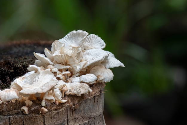 Lentinus squarrosulus mont, cogumelos na natureza.