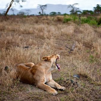 Leoa, deitando-se, bocejando, parque nacional serengeti, serengeti, tanzânia