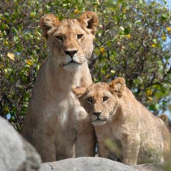 Leoa e filhotes de leão no parque nacional serengeti