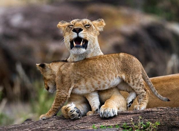 Leoa e seu filhote em uma grande rocha. parque nacional. quênia. tanzânia. masai mara. serengeti.
