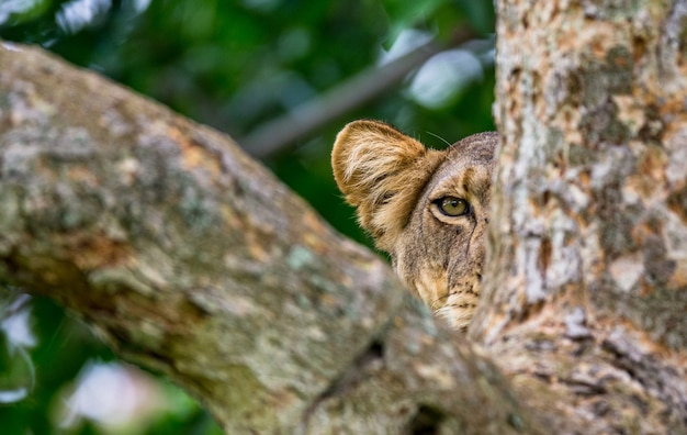 Leoa está se escondendo nos galhos de uma grande árvore