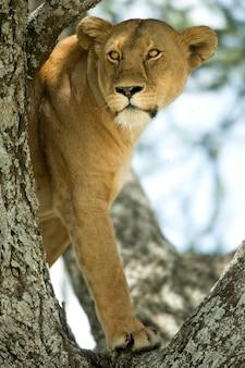 Leoa na árvore