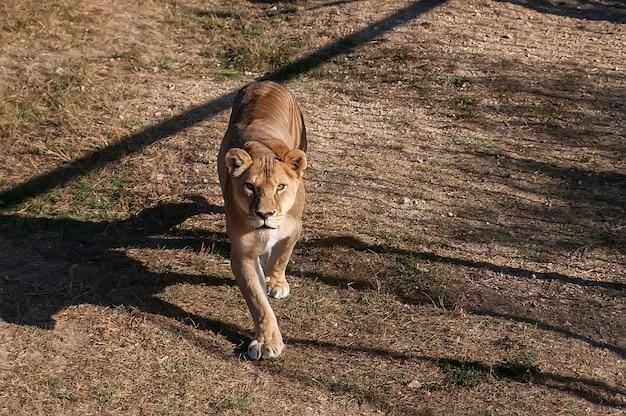 Leoa na grama