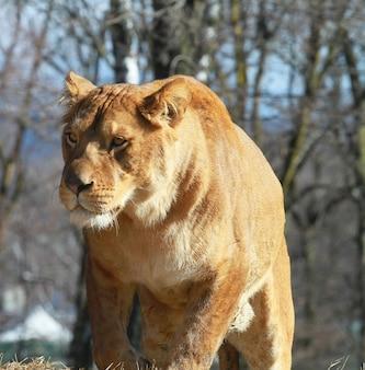 Leoa no safari do jardim zoológico