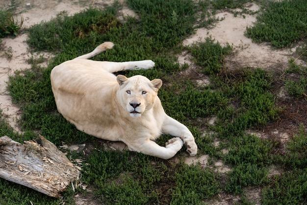 Leoa, panthera leo, retrato de lionesse, perfil da cabeça em fundo suave, olhando para a esquerda, com espaço para texto no lado esquerdo