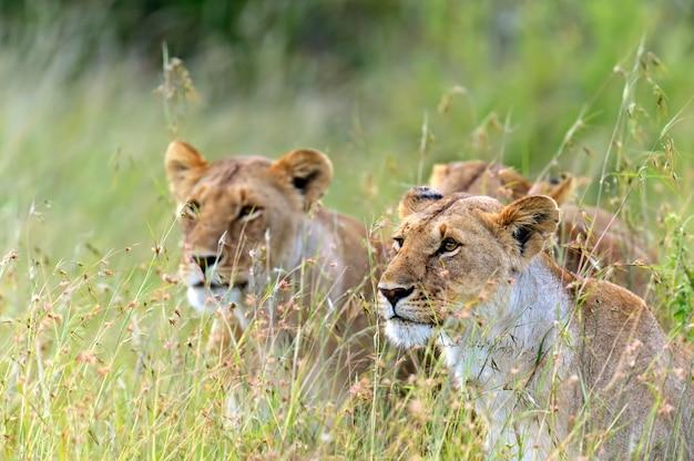 Leoa passeando com seus cinco filhotes por masai mara, no quênia