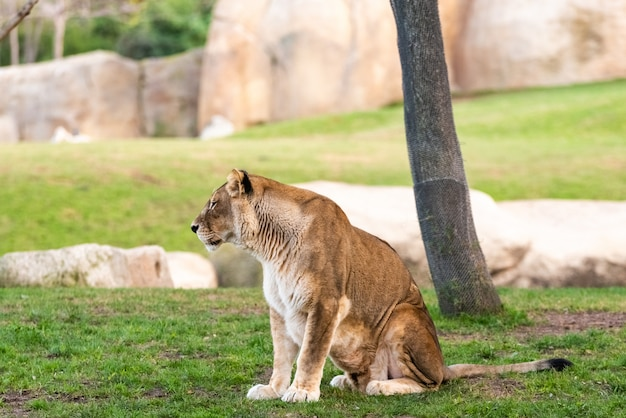 Leoa que descansa pacificamente em um jardim zoológico.