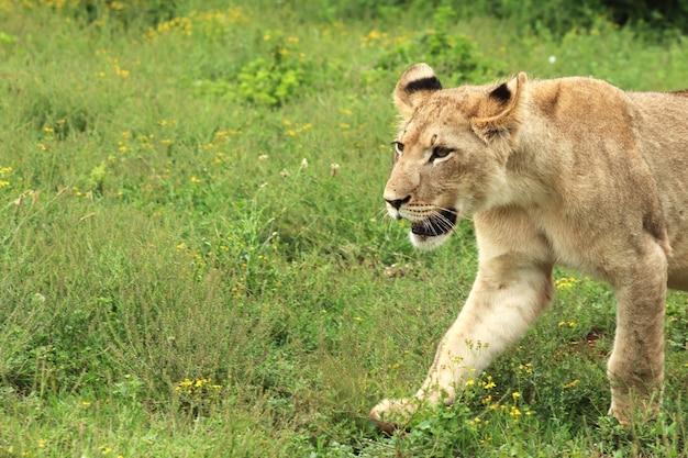 Leoa solitária caminhando no parque nacional de elefantes addo