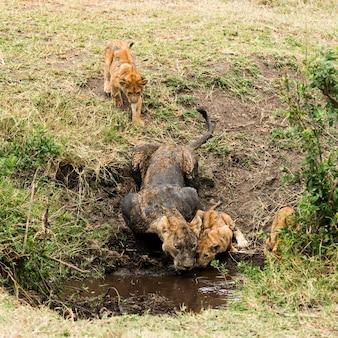 Leoa suja e filhotes bebendo, serengeti, tanzânia, áfrica
