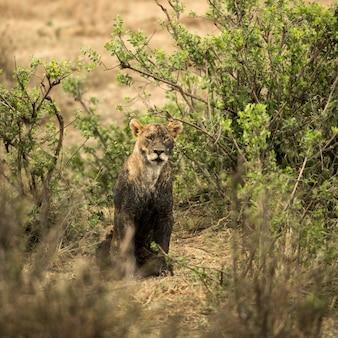 Leoa suja sentada, serengeti, tanzânia, áfrica