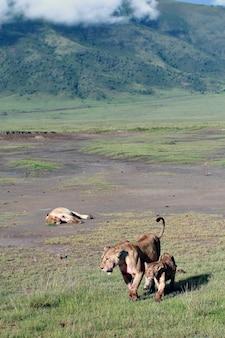 Leoas no parque nacional do vulcão ngorongoro, na tanzânia.
