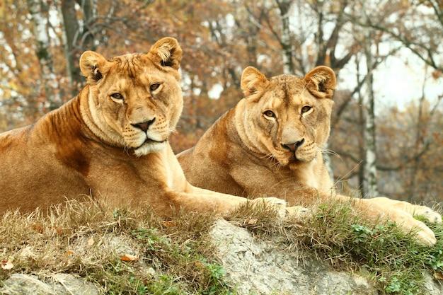 Leoas no zoológico de safári
