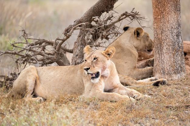 Leões descansam à sombra de uma árvore