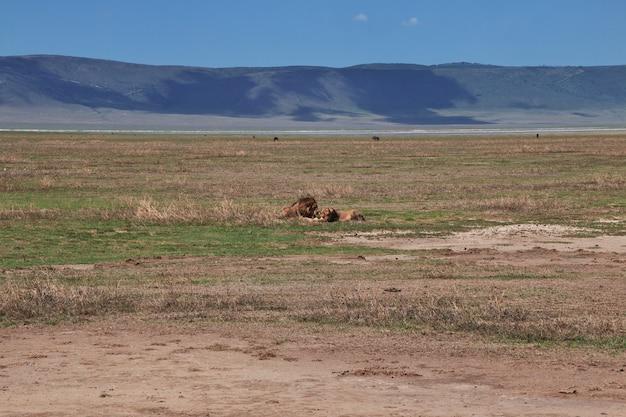 Leões em um safari na áfrica