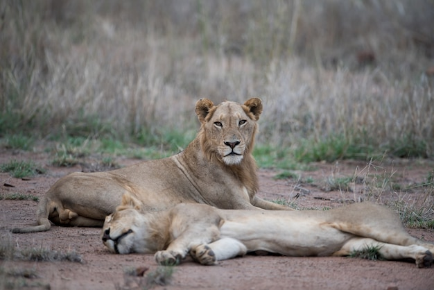 Leões fêmeas descansando no chão com um fundo desfocado