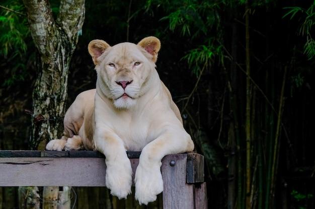 Leões juntos na madeira no zoológico