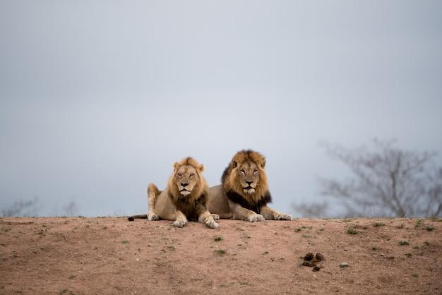 Leões machos descansando no chão