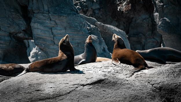 Leões marinhos da califórnia nas rochas de isla coronado. baja california, golfo da califórnia.