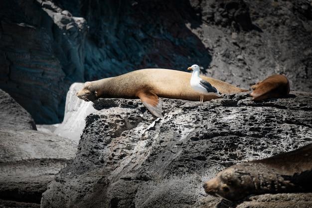 Leões marinhos da califórnia tomando banho de sol nas rochas da isla coronado. baja california, golfo da califórnia.