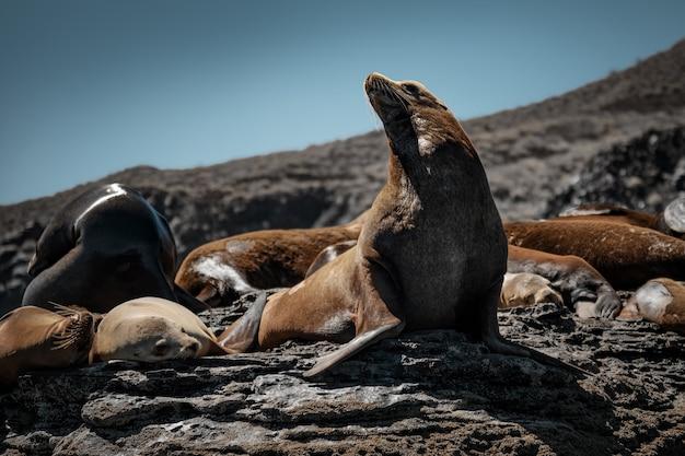 Leões-marinhos da califórnia tomando sol nas rochas