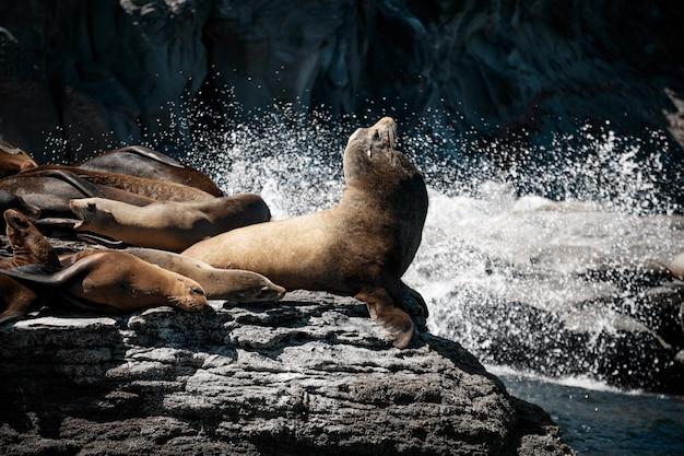 Leões marinhos da califórnia (zalophus californianus) tomando sol nas rochas