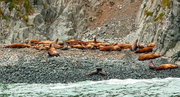 Leões marinhos de rookery steller. ilha no oceano pacífico, perto da península de kamchatka.