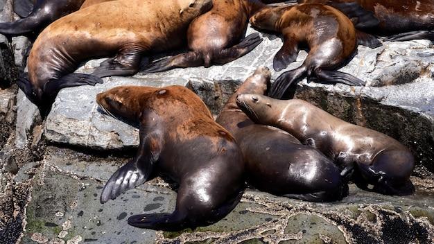 Leões marinhos estelares em kekurniy cape kamchatka península, rússia