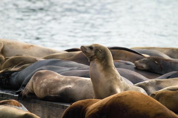 Leões marinhos, exposição sol, ligado, barcaça, em, cais, 39, são francisco