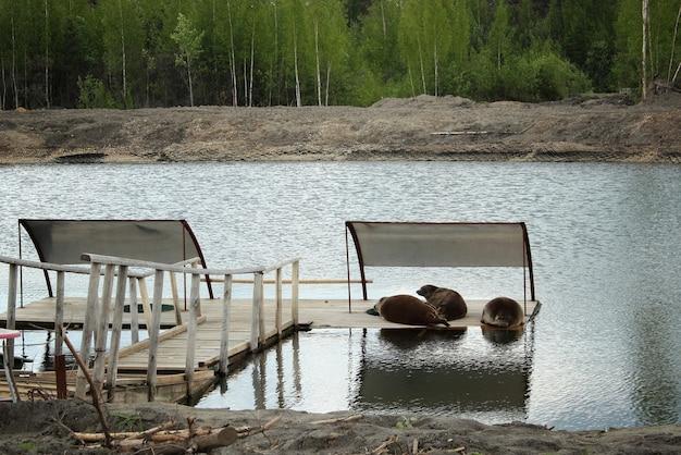 Leões-marinhos fofos jovens deitado sobre uma plataforma de madeira. leões marinhos dormindo sobre uma paleta de madeira na água.