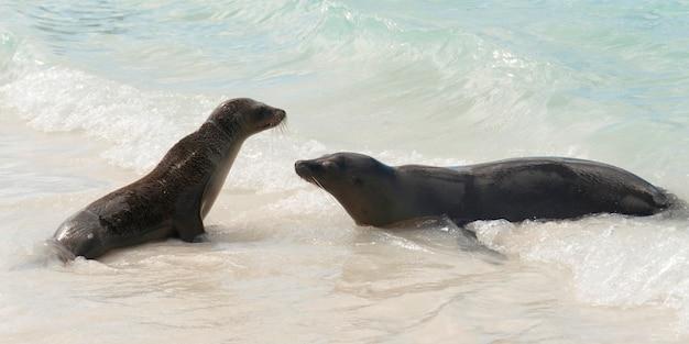 Leões marinhos galápagos, (zalophus, californianus, wollebacki), em, a, oceânicos, baía gardner, ilha espanola, ilhas galapagos, equador