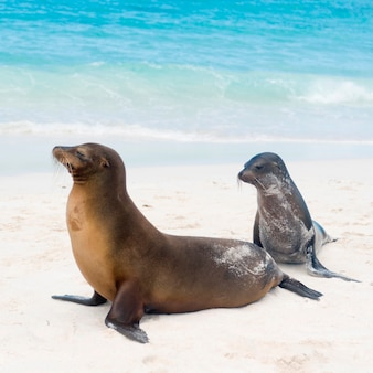Leões marinhos galápagos, (zalophus, californianus, wollebacki), gardner, baía, ilha espanola, ilhas galapagos, equador