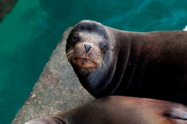 Leões marinhos galápagos, (zalophus, californianus, wollebacki), puerto, baquerizo moreno, ilha san cristobal, ilhas galapagos, equador