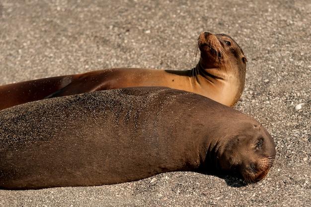Leões marinhos galápagos, (zalophus, californianus, wollebacki), punta, espinoza, fernandina, ilha, ilhas galapagos, equador