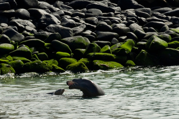 Leões marinhos galápagos, (zalophus, californianus, wollebacki), punta suarez, ilha espanola, ilhas galapagos, equador