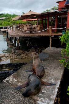 Leões marinhos galápagos, (zalophus, californianus, wollebacki), santa cruz, ilha, ilhas galapagos, equador