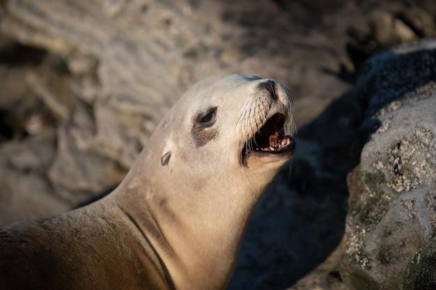 Leões marinhos no oceano. colônia de lobos-marinhos, arctocephalus pusillus.