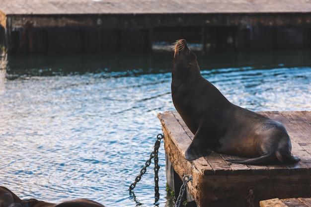 Leões-marinhos no pier 39, são francisco, estado da califórnia