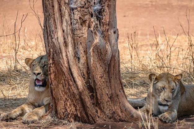 Leões sentados ao lado de uma velha árvore em um campo gramado