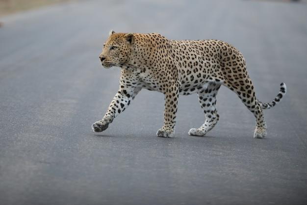 Leopardo africano cruzando uma estrada ao amanhecer