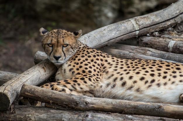 Leopardo africano descansando em uma selva e observando os arredores