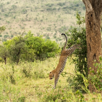 Leopardo caindo de uma árvore, serengeti, tanzânia, áfrica