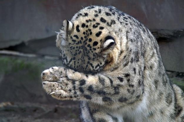 Leopardo da neve ameaçado pata miséria crânio do gato