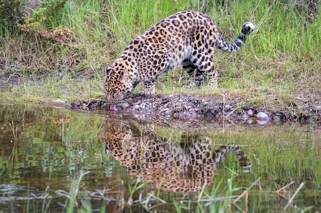 Leopardo de amur, bebendo de um lago com reflexo na água