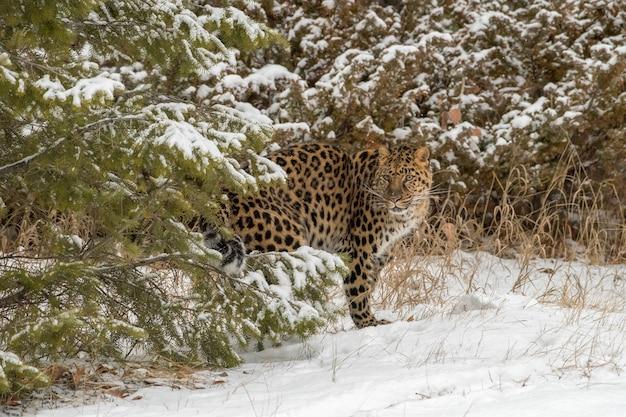 Leopardo de amur, movendo-se entre as sempre-vivas em um dia frio de inverno na neve
