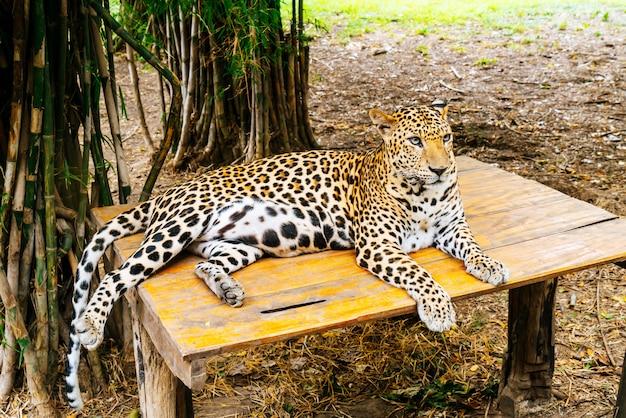 Leopardo deitado na madeira