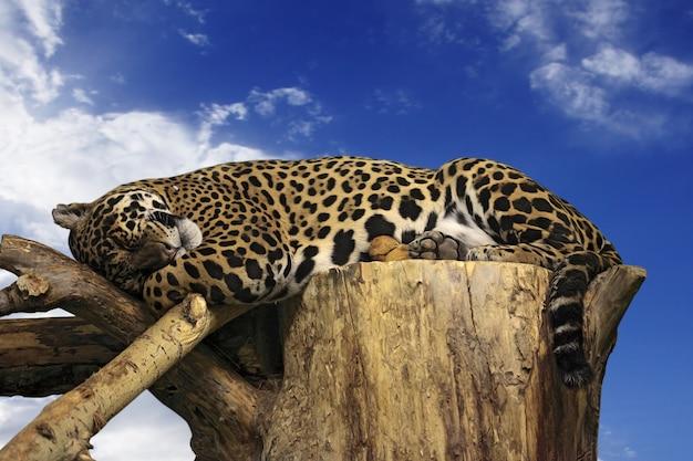 Leopardo dorme na árvore