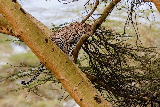 Leopardo escondido na árvore. nakuru, quênia