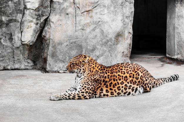 Leopardo, gaiola, jardim zoológico