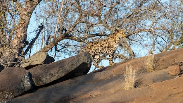 Leopardo macho andando na natureza